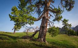 cristallo and ancient tree 2