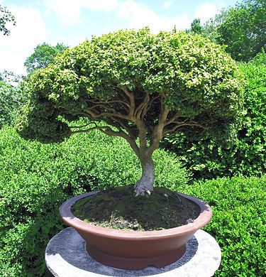 Bonsai%2520Tree_edited_edited.jpg