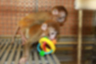 baby-rhesus-with-toy-1-800x533.jpg