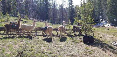 Unloading llamas to make camp