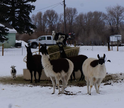 Winter with the goats