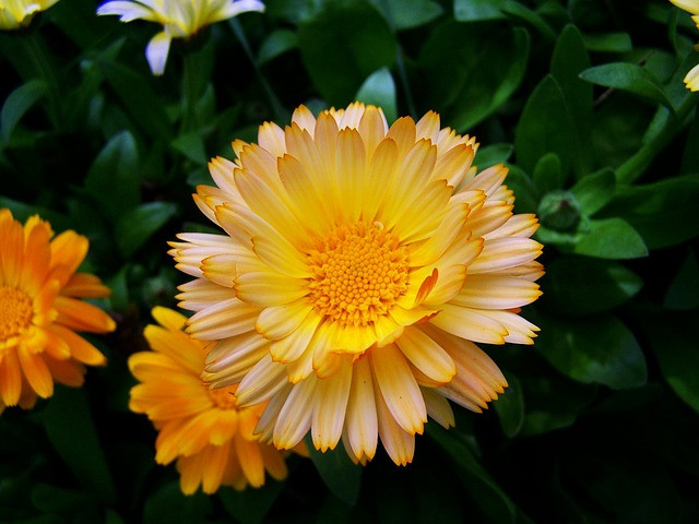 Marigold - October Birth Flower