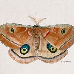 polyphemus moth 2.jpg