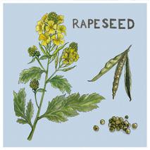rapeseed