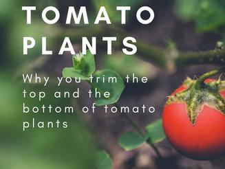 How Do I Prune Tomato Plants?