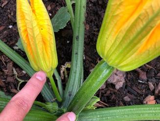 Pollinating Your Squash Plants.