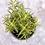 Thumbnail: Rosemary