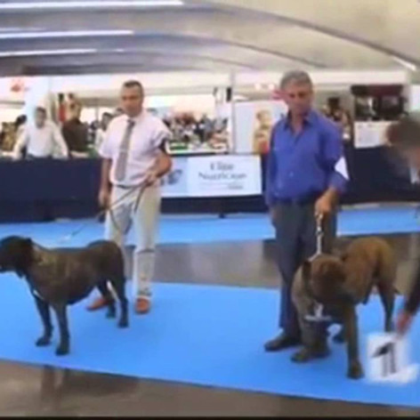 Spanish Champion Sando Can winning in Spain                           Sire to Int. Ch. Bravo Kennel's Fuega​