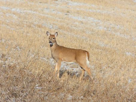 Deer Herds Strong at Midseason