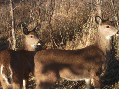 Recent Deer Die-Offs Likely from EHD