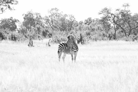 Zebra Highlight