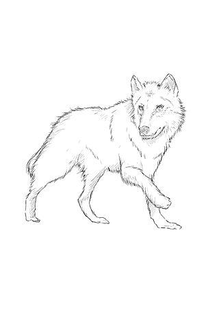 Wolf Calla small.jpg
