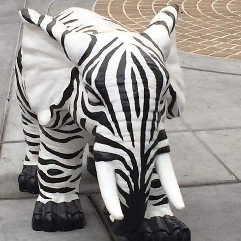 Zebraphant Walks to Campbell