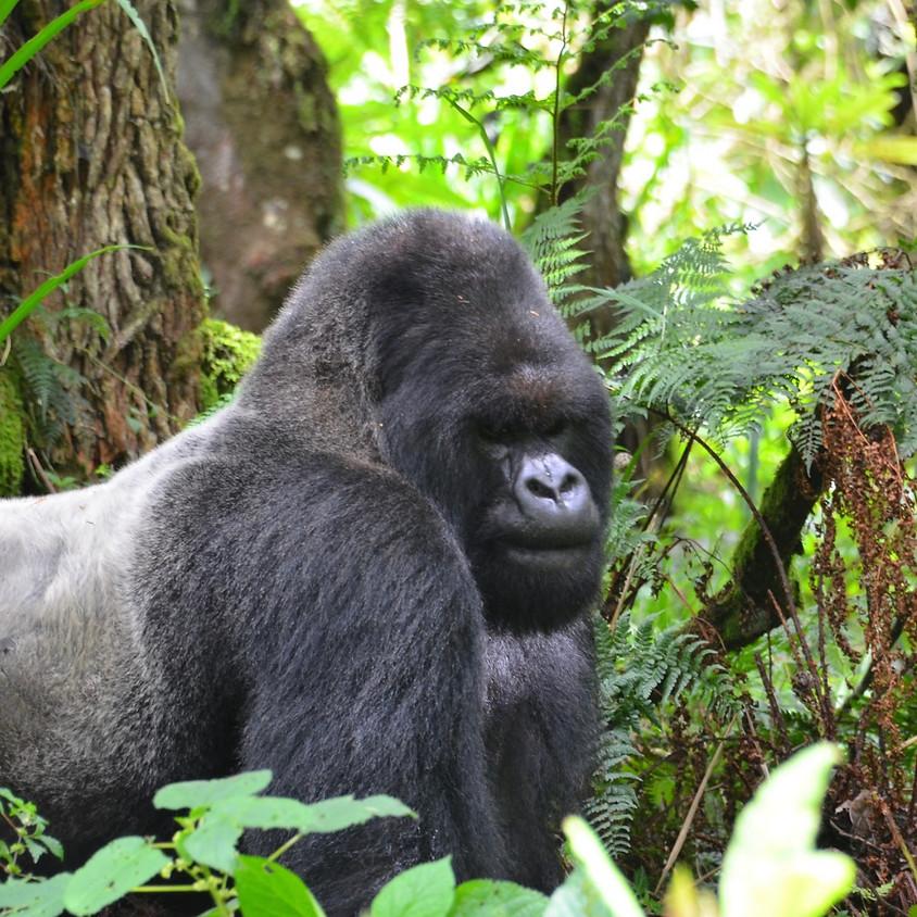 Wild Mountain Gorillas (9th Dec)