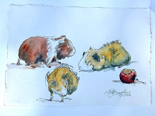 Guinea Pig Studies iii