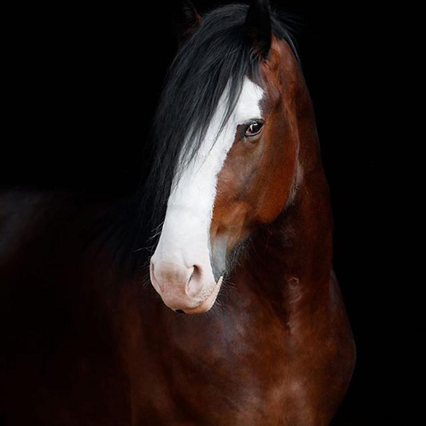 Draft Horses LIVE