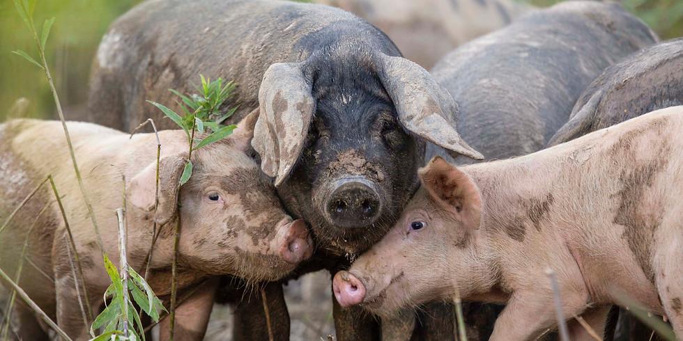 PIGS & COOS!