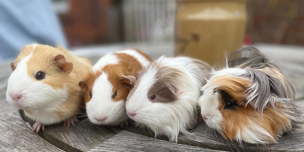 GUINEA PIGS - LIVE & SQUEAKING