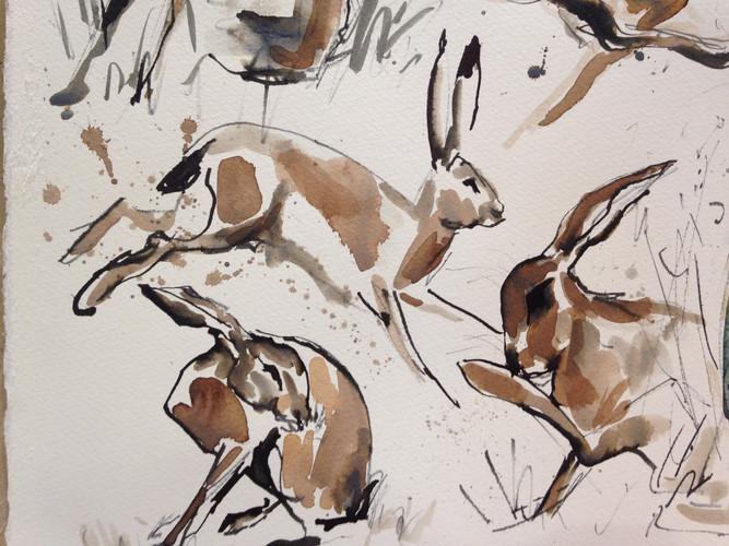 Hare studies