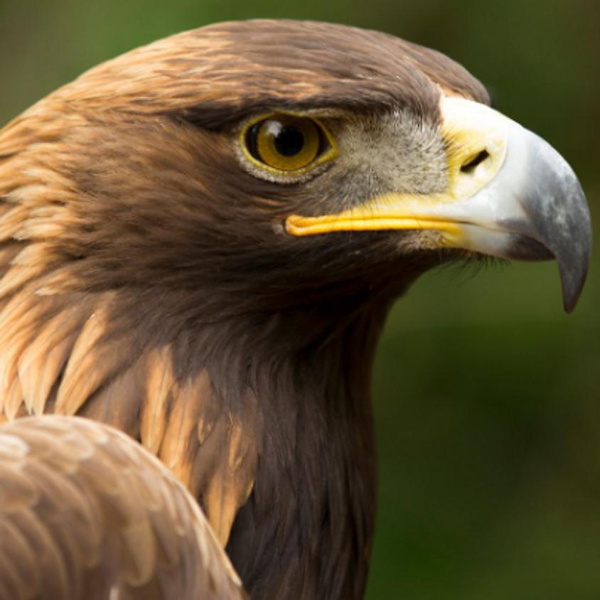 Superstar Golden Eagles, Starlings & Swans