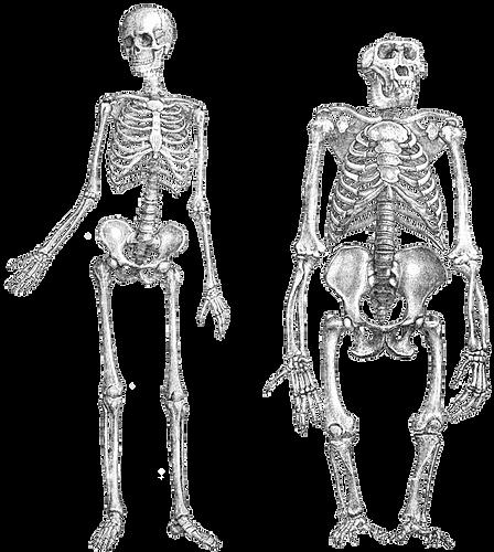 Primate-skeleton_edited.png