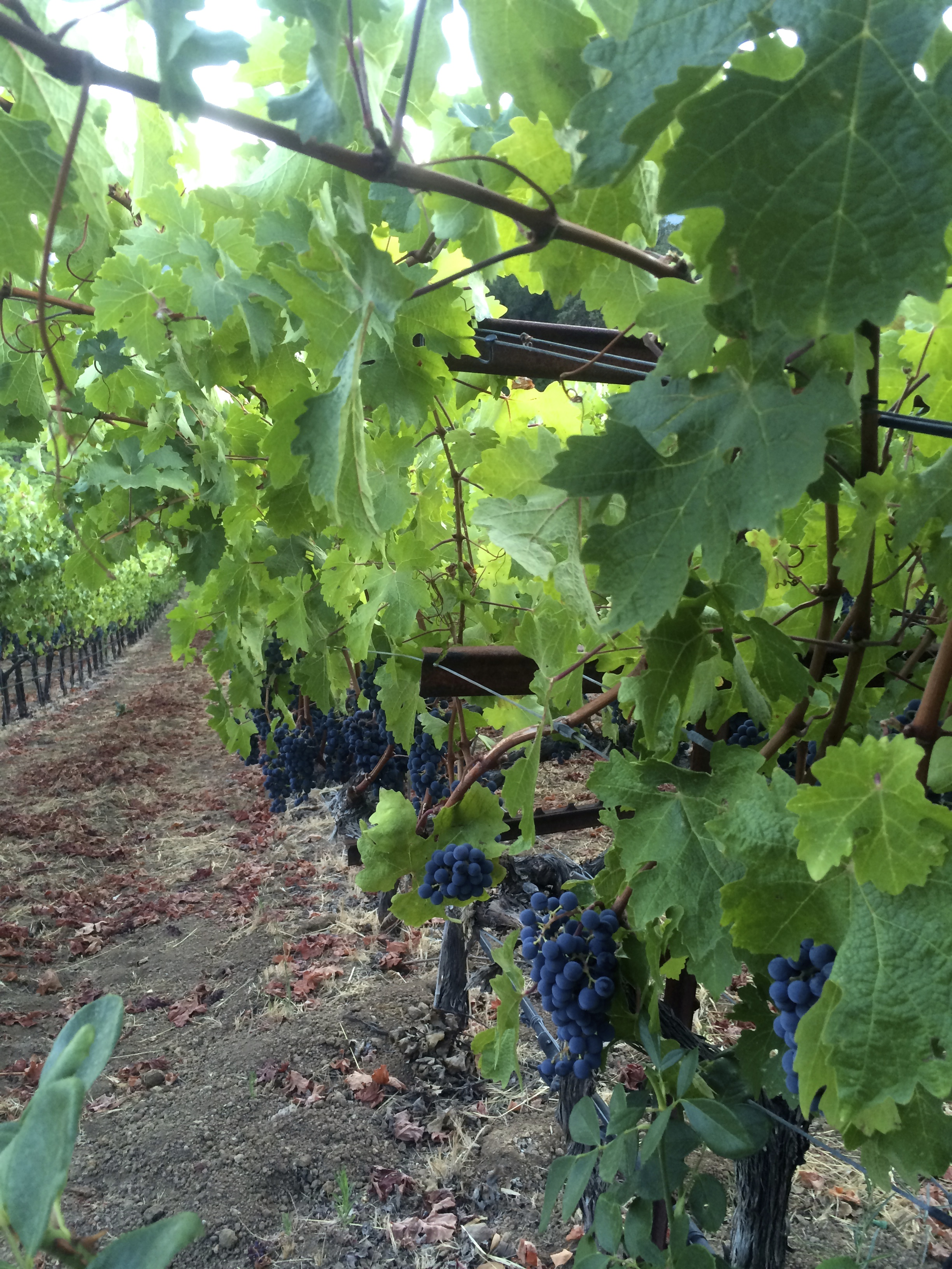 Pinot grapes in a Sonoma vineyard