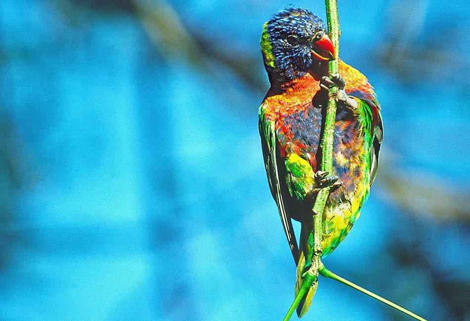 QLD-Rainbow-Lorikeet.jpg
