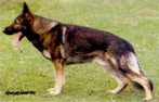 workingdog1.jpg