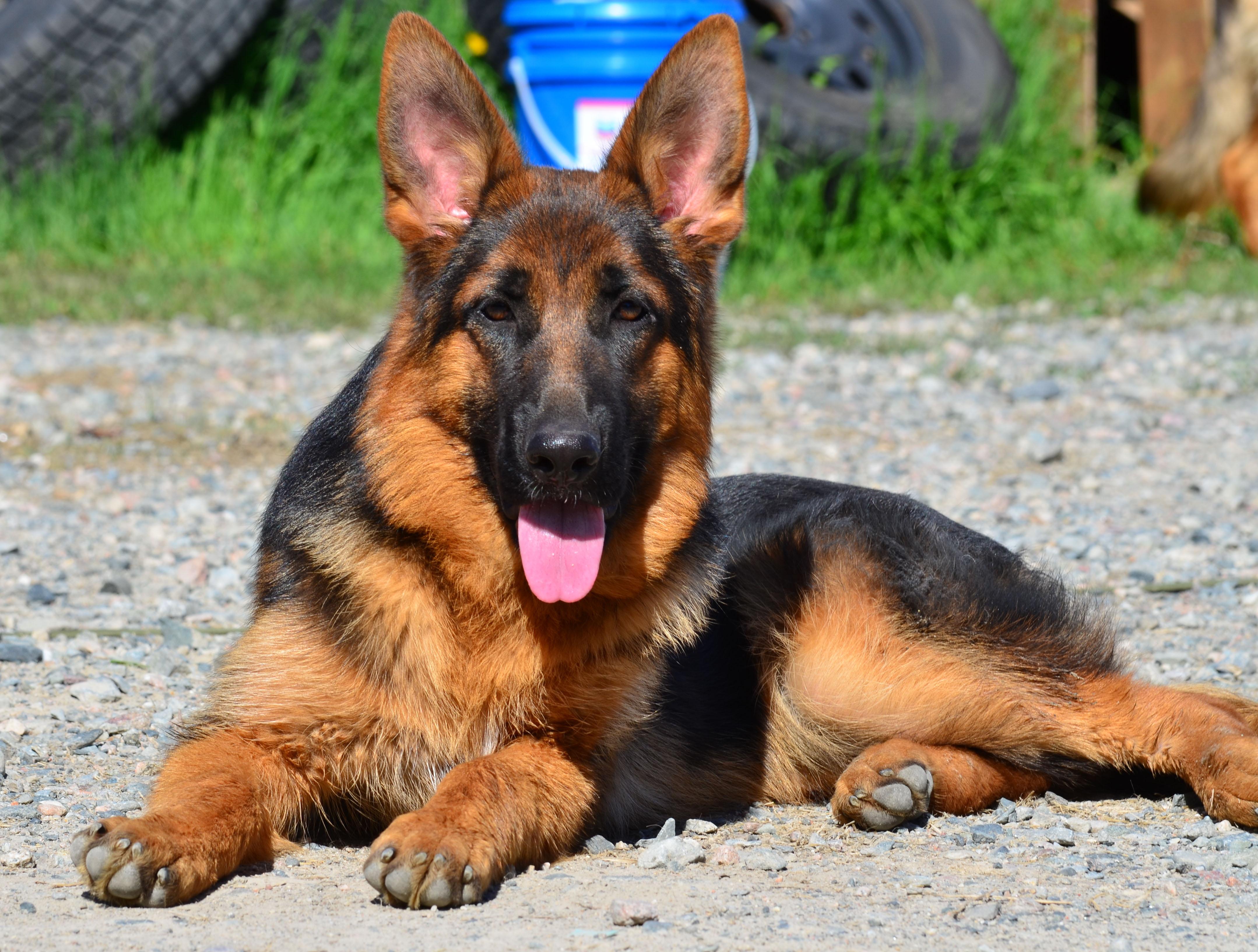 Gala as a puppy