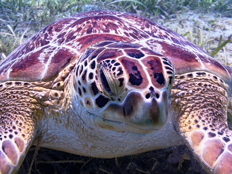 Up close with a Green Sea Turtle