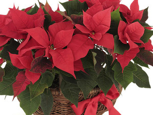 How to Make Your Holiday Plants Last