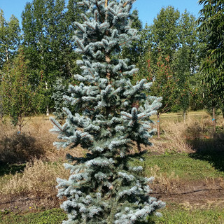 Bakari Spruce