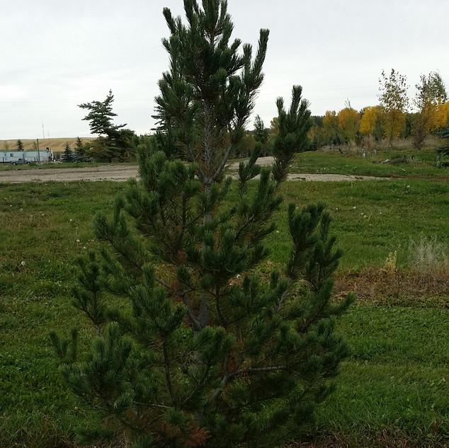 Lumber Pine