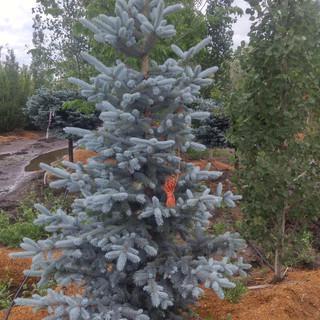 Hoopsii Blue Spruce