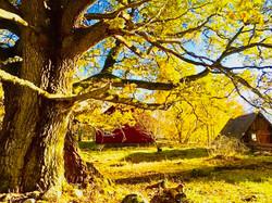 Chêne en Suède