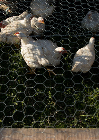 chicken-2.jpg