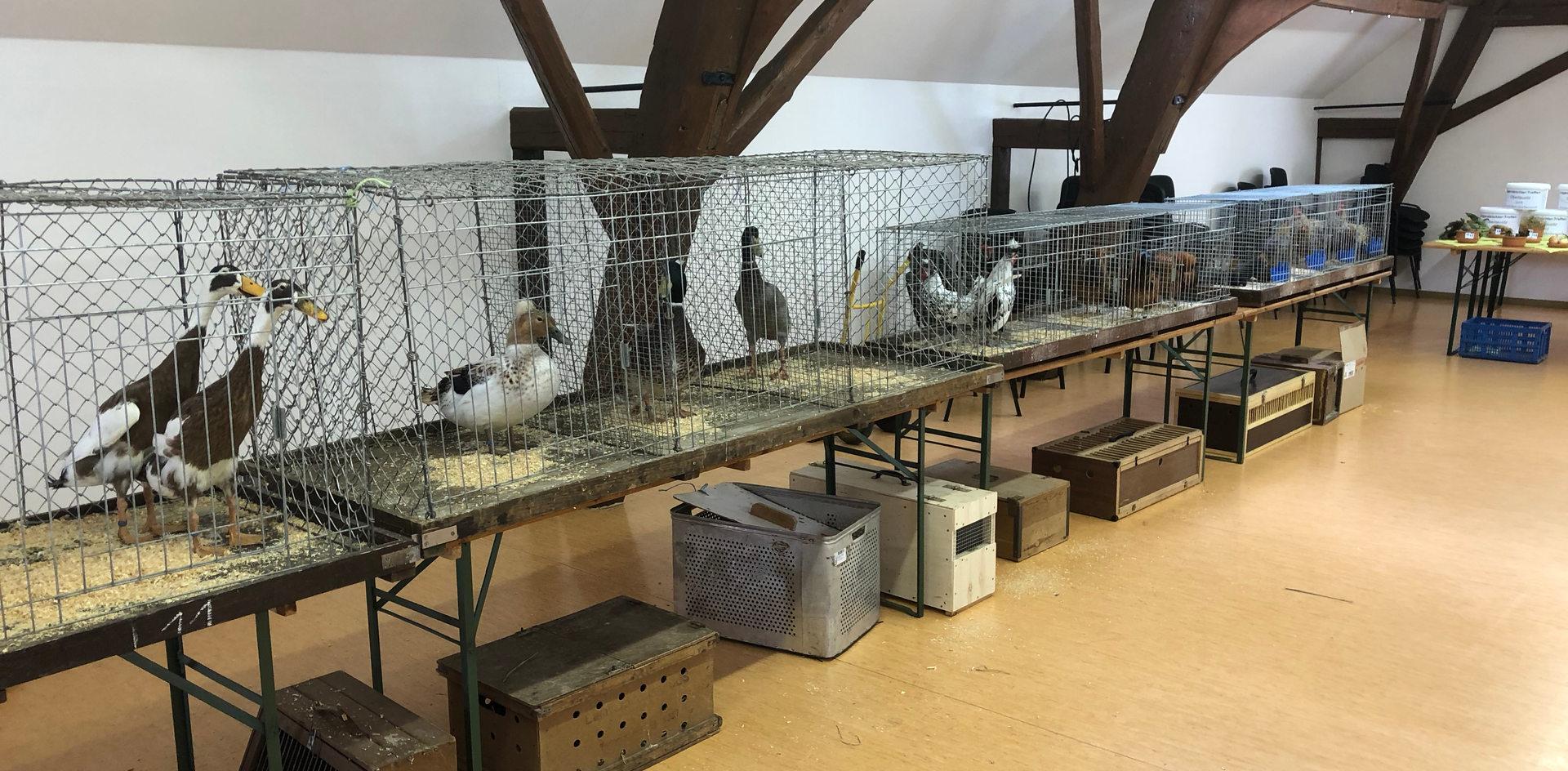 Jeder Jugendliche konnte ein paar Tiere mitbringen, die von fachkundigen Preisrichtern begutachtet wurden