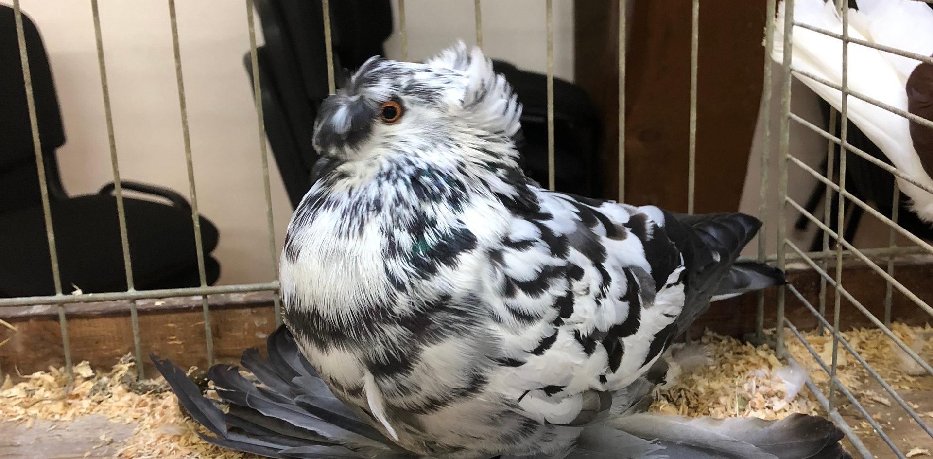 sowie verschiedenen Taubenrassen