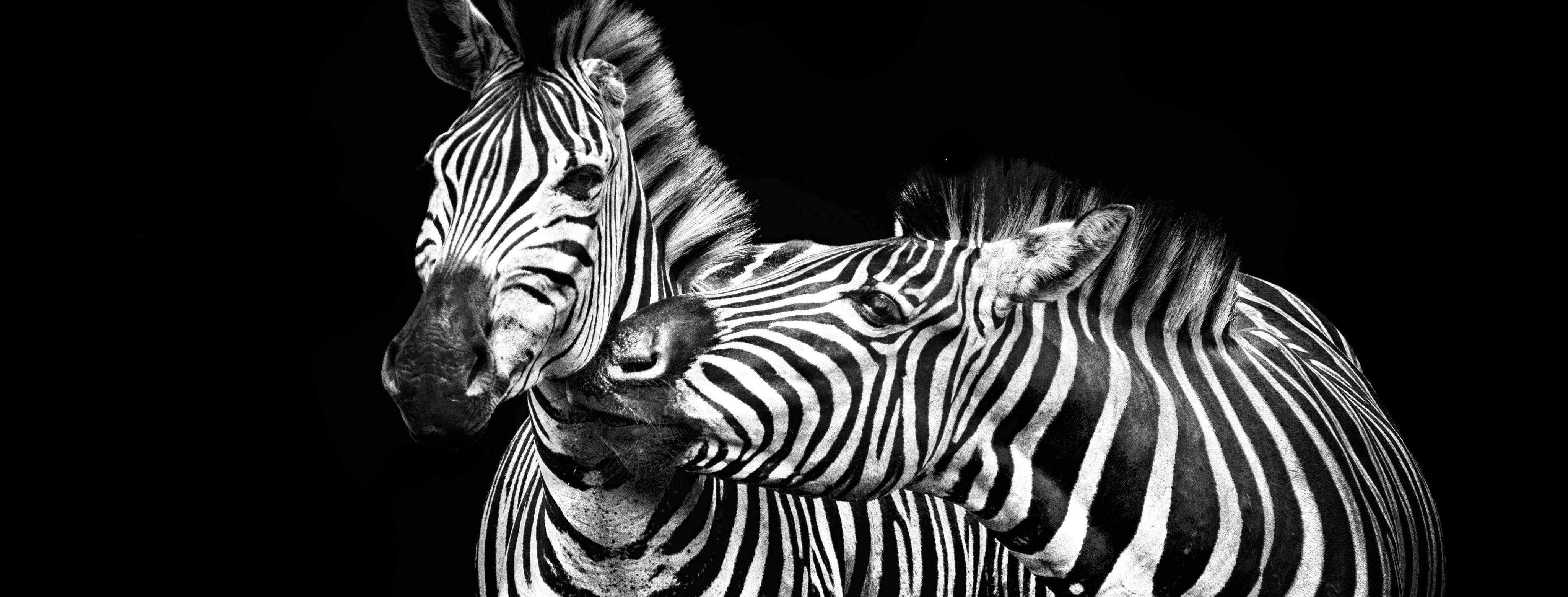 Black & White Zebra Hero dimension