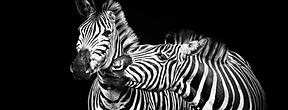 Black & White Zebra Hero dimension.png