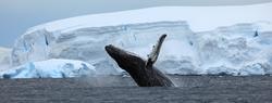 Whale breaching Antarctica