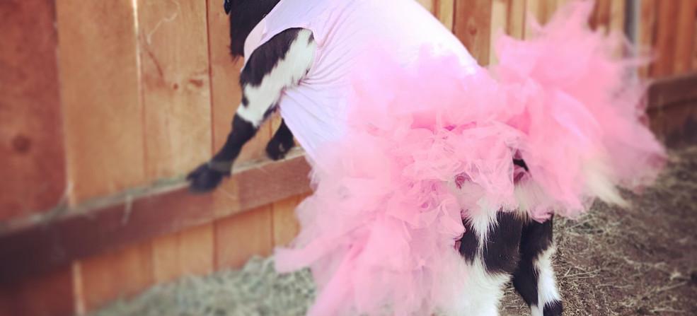 Ballerina goat