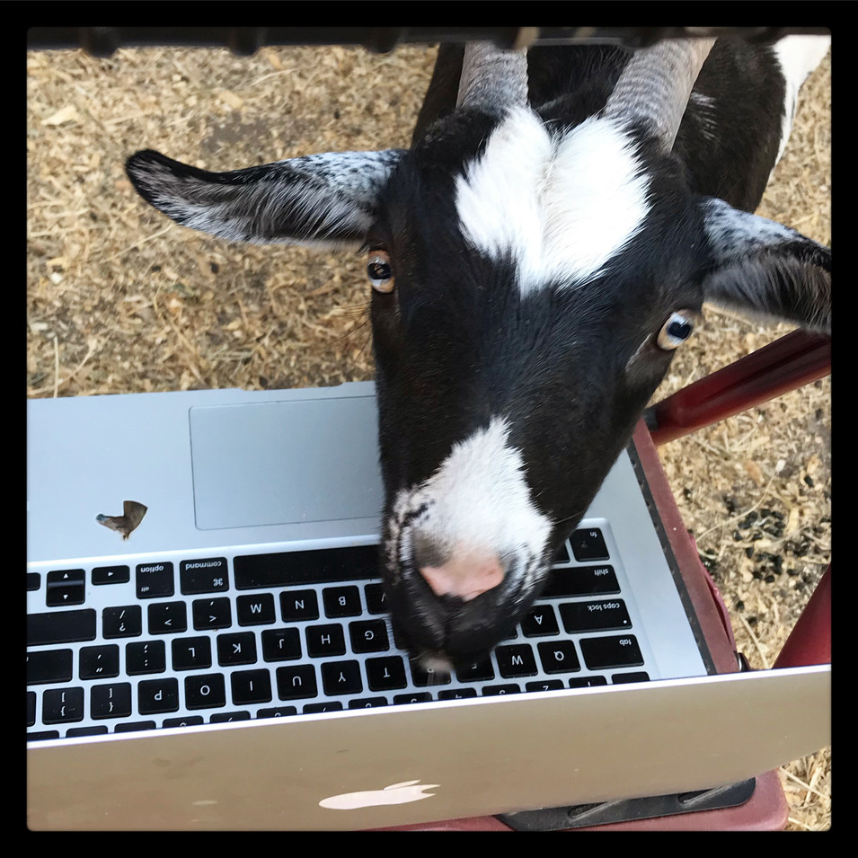Our goats will join your zoom call!