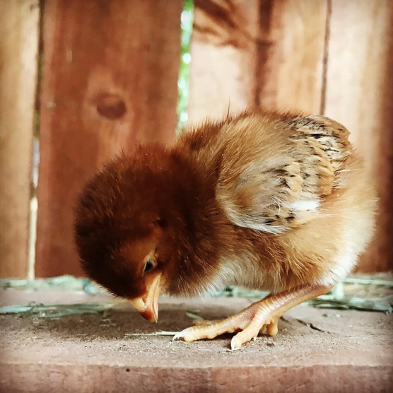 Rhode Island Red Chick