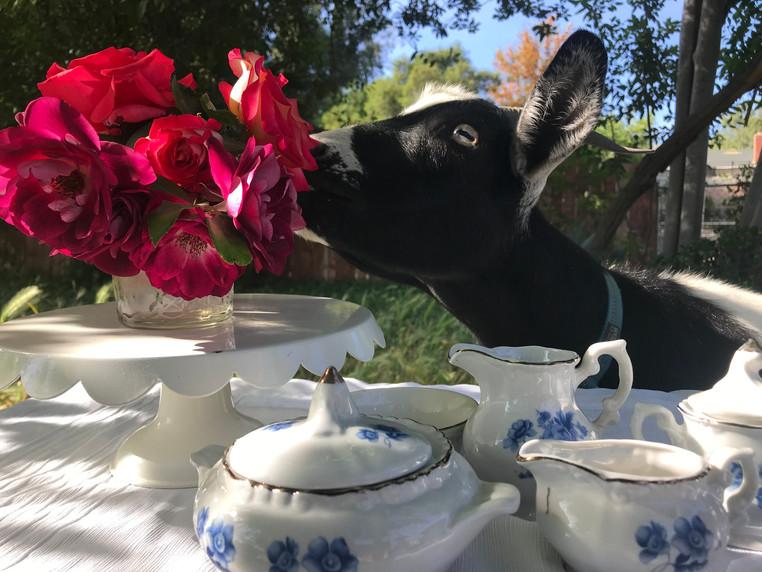 Chocolate Chip enjoying high tea al fresco.