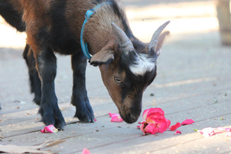 Baby Tennessee Fainting Goat