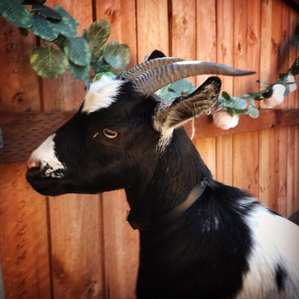 A garden goat party