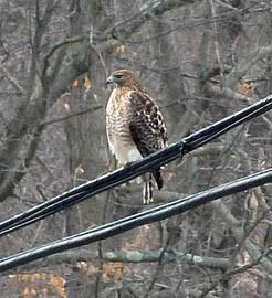Connecticut Audubon Society Staff Finds Unique Hybrid Hawk In Connecticut