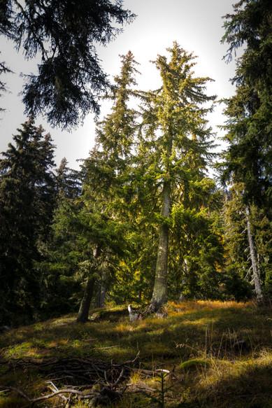 BlueCare-Baumpatenschaft für Erhalt und Pflege des Aletschwaldes im Wallis