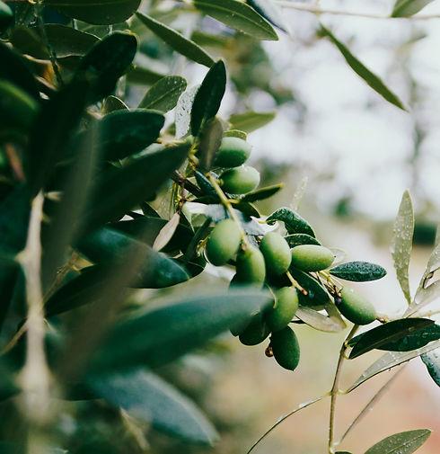 Olive%20tree%20in%20Croatia%2C%20Europe_edited.jpg